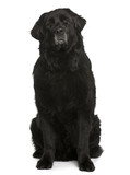 Newfoundland dog, sitting in front of white background