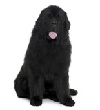 Black Newfoundland dog sitting in front of white background poster