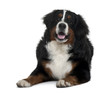 Bernese mountain dog, lying down in front of white background