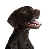 German Shorthaired Pointer, panting in front of white background