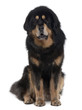 Tibetan mastiff dog, sitting in front of white background