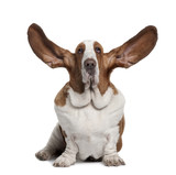 Basset Hound with ears up, sitting in front of white background poster