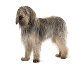 Bearded Collie, standing in front of white background