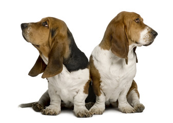 Two sulking Basset Hounds, sitting in front of white background