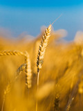 ear of the wheat