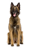 Belgian Tervuren, sitting in front of white background