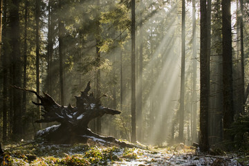 Sun light shining through the trees. Carpathians wood.
