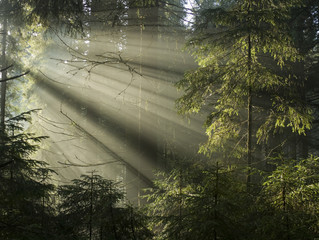 Sunlight shining through the trees. Carpathians wood.