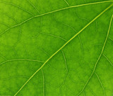 veins of green leaf poster