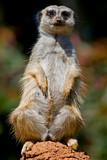 Slender-tailed meerkat poster