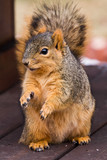 Squirrel Begging For Food poster