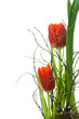 Two red tulips.