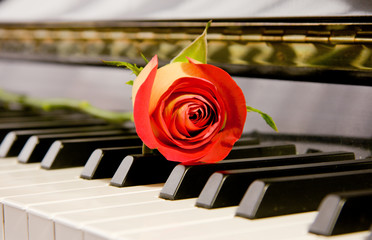 a duo color rose on a shiny black piano