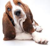 basset hound puppy closeup poster
