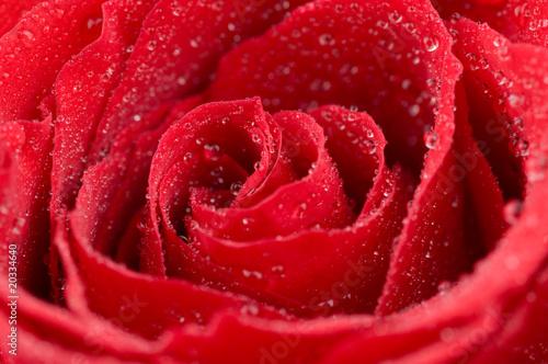 Macro photo of red rose with water drops © Vitaly Raduntsev