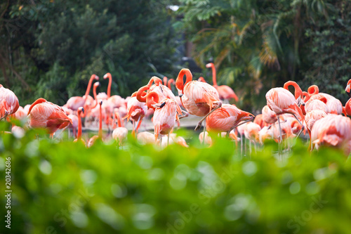 Flamingos in plants in Florida, USA