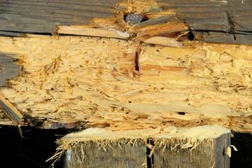 Holzwurm - woodworm 01