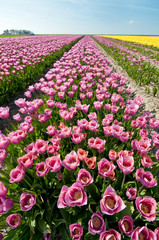 Field of colored tulips