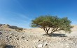 Acacia tree in the desert near Dead Sea, Israel