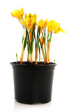 Yellow botany Crocus poster