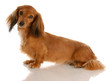 long haired dachshund sitting