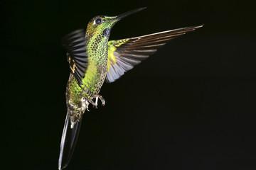 Hummingbird. Colibri. Reserva Biológica Maquipucuna. Ecuador