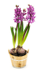 Hyacinth in the pot