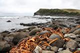 New Zealand - Catlins, Curio Bay coast. Bull kelp algae. poster