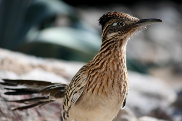 Greater Roadrunner Bird
