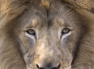 African lion male adult close up looking at camera