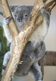 australian koala bear adult female with her baby joey on belly poster