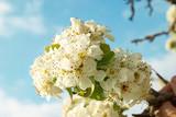 White apple-tree flowers