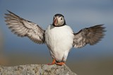 Atlantic Puffin stretched wingspan, Runde island, Norway