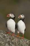 Two Atlantic Puffins perch side by side, Runde island, Norway