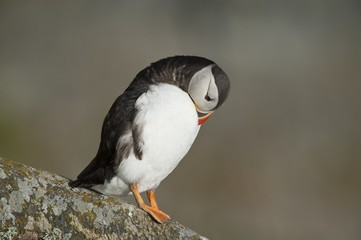 Atlantic Puffin preening on rock, Runde island, Norway