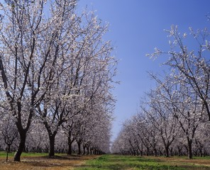 Almond Orchard in blossom, LeGrand,  Merced County, California