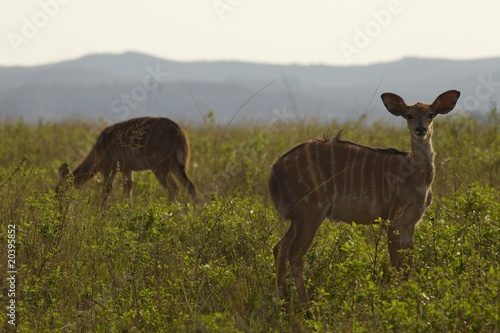 Female Nyala on African plains