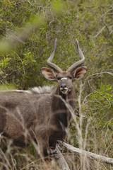 Male Nyala, South Africa