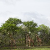 Four Giraffes stand in woodland