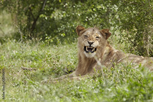 Lioness, lying in African undergrowth