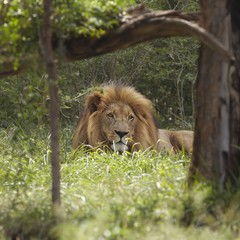 Lion, lies in shade of tree