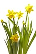 Blossoming daffodils on a white background in springtime