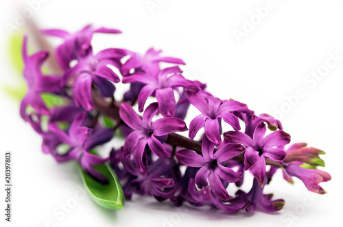 In de dag Lilac Hyacinth flower (shallow DOF)