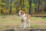 Dog hound poster