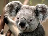 Fototapeta kawałek - natura - Koala