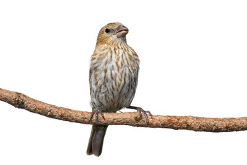 female house finch perched on a pine branch
