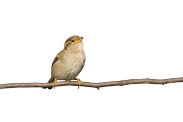 sparrow perched on a branch prepared to fly