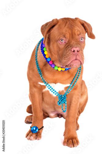 Poster Glamour Dog