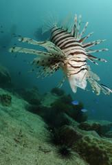 Lion fish Pterois, Parapterois, Brachypterois,,