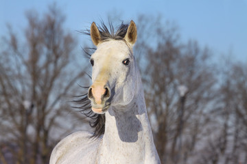 white arab stallion